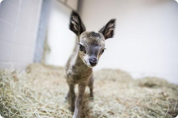 Зоопарк Линкольн-Парк показал детеныша прыгуна
