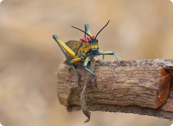 Радужная саранча (лат. Phymateus saxosus)