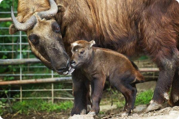 Новорожденный детеныш такина из зоопарка Праги