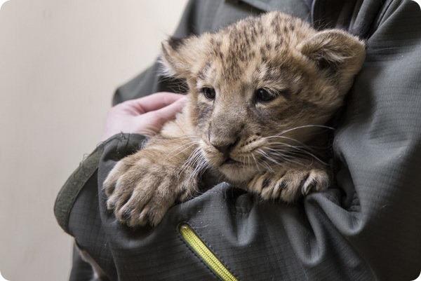 В зоопарке Хельсинки родились азиатские львята