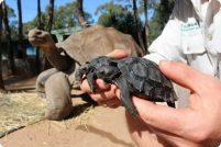 Новые галапагосские черепахи из зоопарка Таронга
