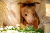 Детеныш древесного кенгуру Матши из зоопарка США