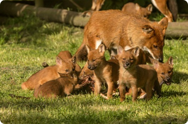 В Великобритании родились детеныши красного волка