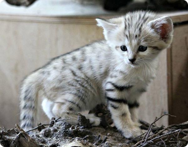 Зоопарк Брно представил трех барханных котят