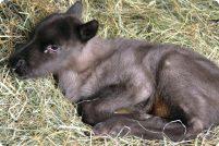 В зоопарке Стон родился детеныш северного оленя