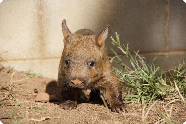 В зоопарке Таронга родился детеныш вомбата