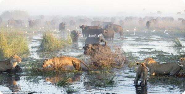 Схватка между львами и буйволами в Ботсване