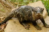 В зоопарке Далласа родился новый выдренок