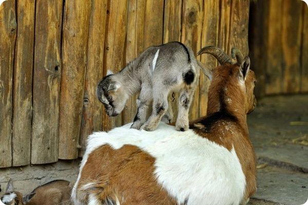 В зоопарке Крефельд на свет появилось 11 козлят