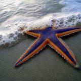 Королевская морская звезда