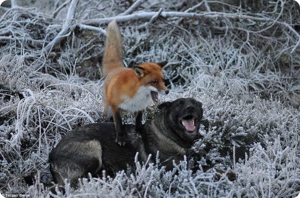 Дружба между собакой и лисой