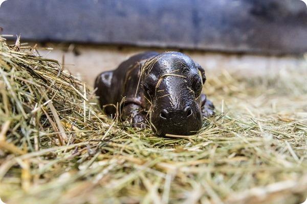 Детеныш карликового бегемота из зоопарка Базеля