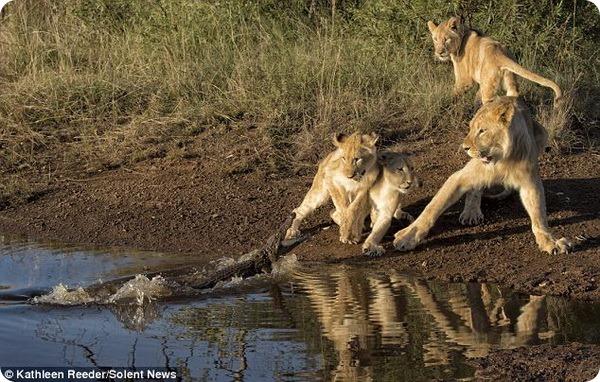 Неожиданная встреча львят с крокодилом в Южной Африки