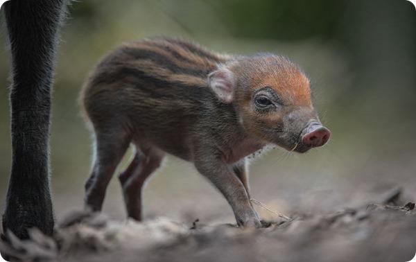 Детеныши висайской бородавочной свиньи из Честера