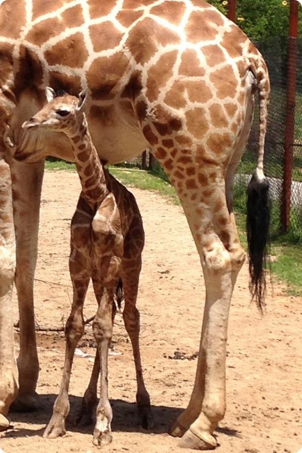 В зоопарке Дикерсон родился детеныш жирафа