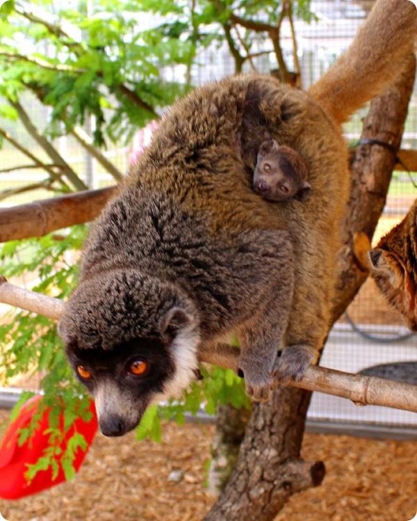 Во Флориде родился детеныш мангустовго лемура
