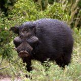 Большая лесная свинья