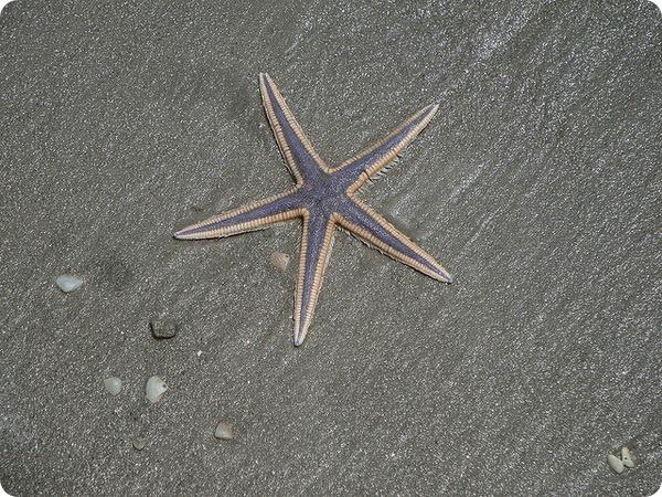 Королевская морская звезда (лат. Astropecten articulatus)