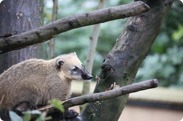 Коати обживают новый дом в Лондонском зоопарке