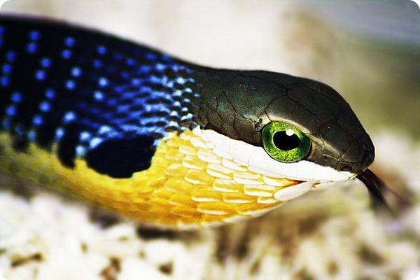 Африканский бумсланг (лат. Dispholidus typus)