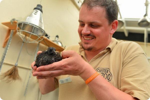 Зоопарк Честера представил птенца фазанового голубя