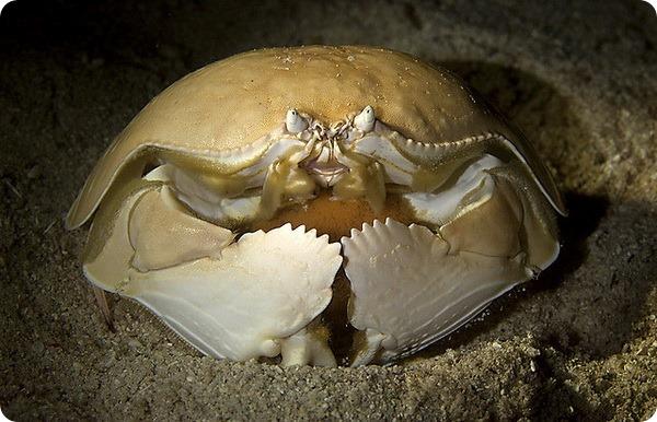 Стыдливый краб (лат. Calappa calappa)