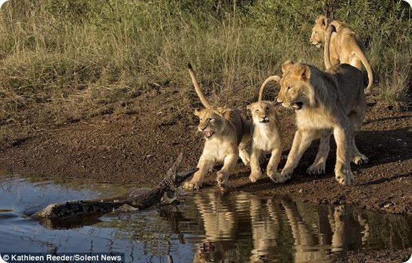 Неожиданная встреча львят с крокодилом в Южной Африке