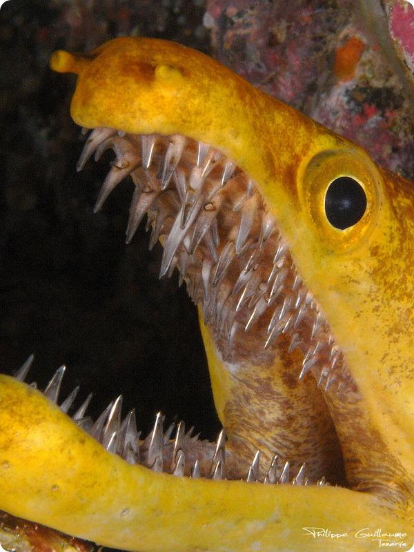 Саблезубая мурена (лат. Enchelycore anatina)