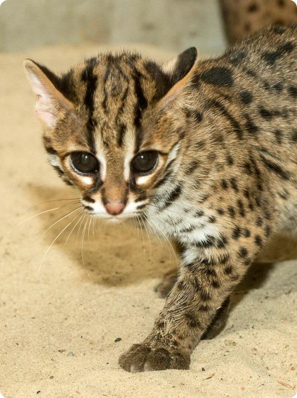 Бенгальские котята из зоопарка Берлина
