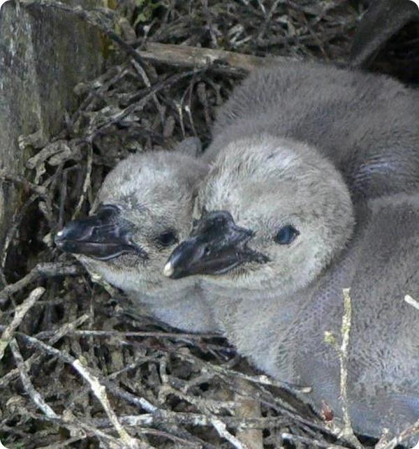 Птенцы пингвинов Гумбольдта из зоопарка Германии