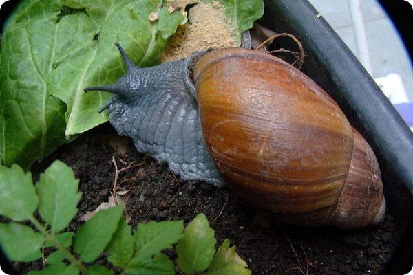 Мегалобулимус (лат. Megalobulimus)