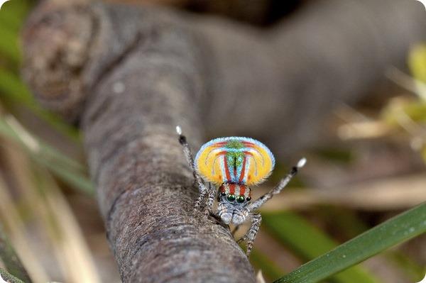 Павлиний паук (лат. Maratus volans)