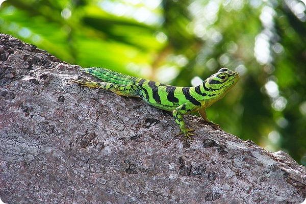 Зеленая шипохвостая игуана (лат. Uracentron azureum)