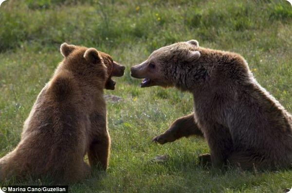 Разминка бурого медведя в заповеднике