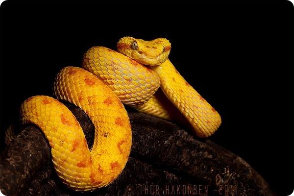 Цепкохвостый ботропс Шлегеля (лат. Bothriechis schlegelii)
