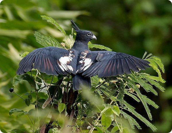 Черная база (лат. Aviceda leuphotes)