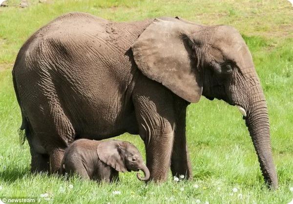 В сафари-парке Англии родился первый слоненок