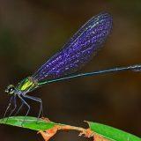 Равнокрылая стрекоза Vestalis amethystina