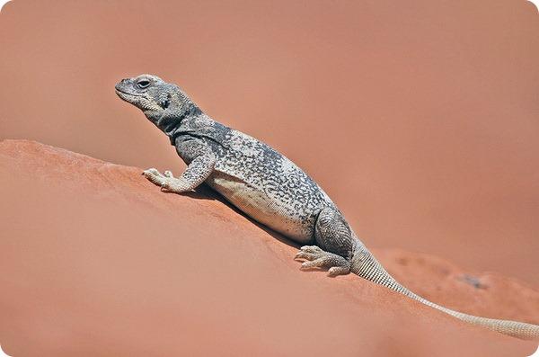Чаквелла (лат. Sauromalus ater)