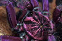 Бразильский пурпурный памфобетус