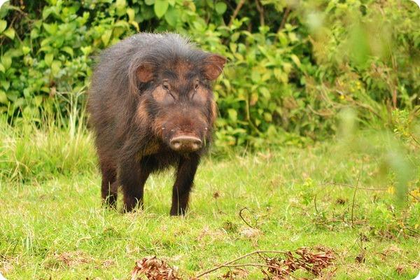 Большая лесная свинья (лат. Hylochoerus meinertzhageni)