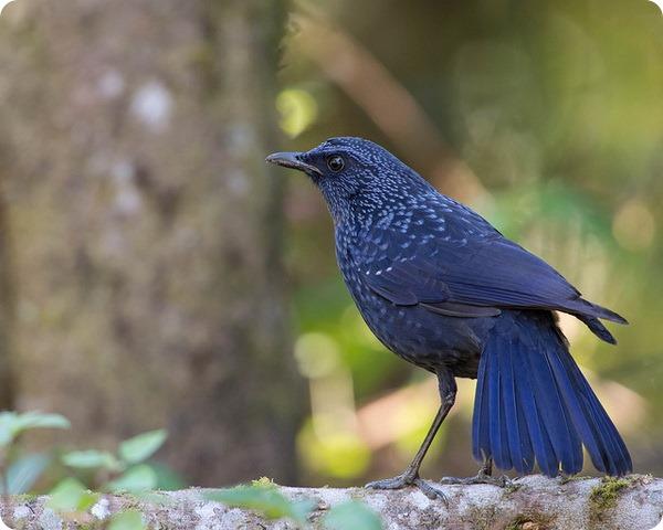 Синяя птица (лат. Myophonus caeruleus)