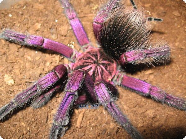 Бразильский пурпурный памфобетус (лат.Pamphobeteus platyomma)