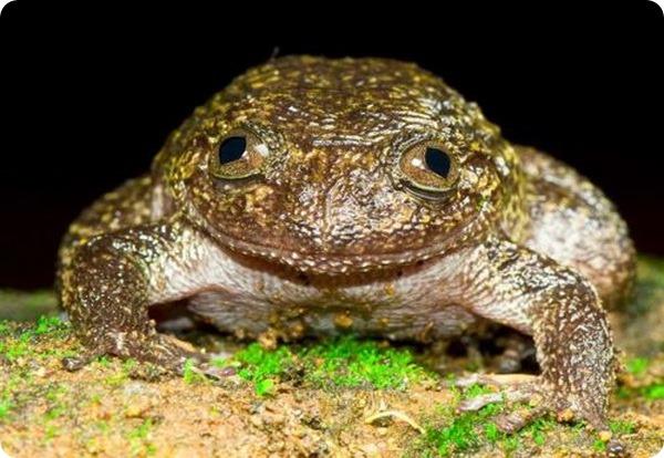Ночная лягушка Ваянад (лат. Nyctibatrachus grandis)