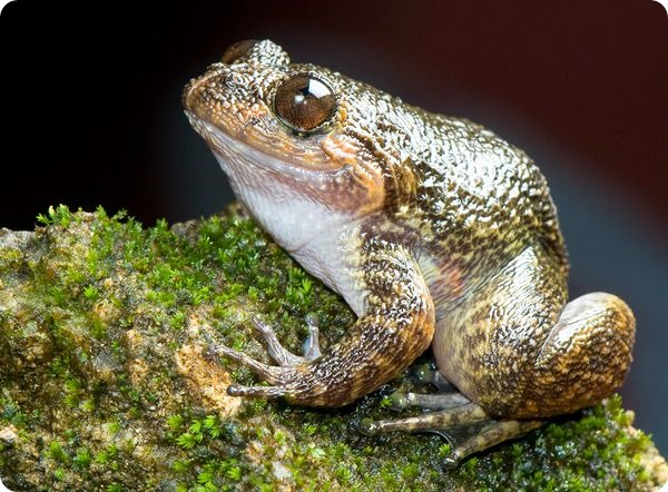 Ночная лягушка Гави (лат. Nyctibatrachus gavi)
