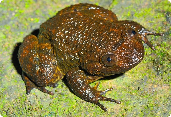 Ночная шипастая лягушка (лат. Nyctibatrachus acanthodermis)