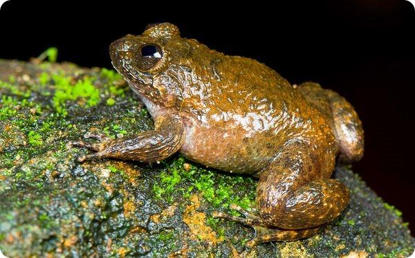 Мяукающая ночная лягушка (лат. Nyctibatrachus poocha)