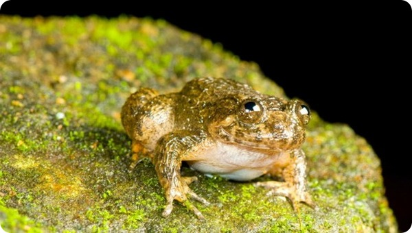 Ночная лягушка Кург (лат. Nyctibatrachus sanctipalustris)
