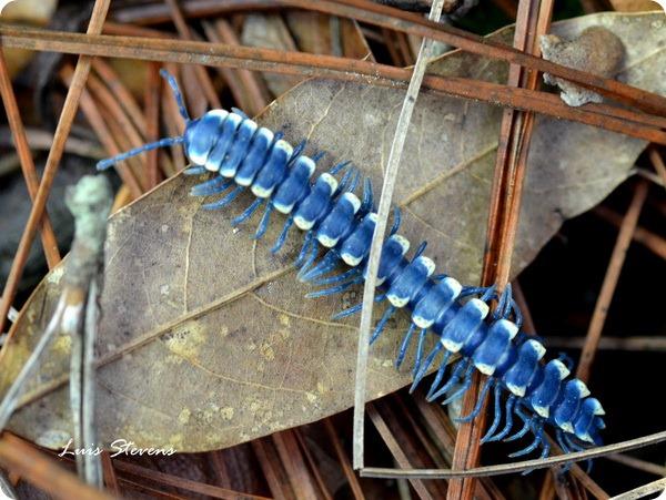 Синяя тропическая многоножка (лат.Pararhachistes potosinus)