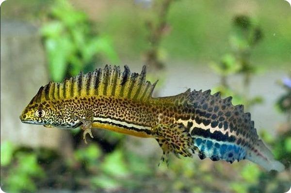 Малоазиатский тритон (лат. Triturus vittatus ophryticus)